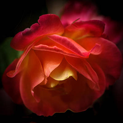 Photograph - Radiant Rose by Ronda Broatch