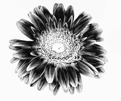 Gerber Daisy Photograph - Radiant Solarized by Steve Harrington