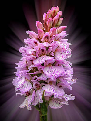 Purple Images Photograph - Radiant Wild Pink Spotted Orchid by Gill Billington