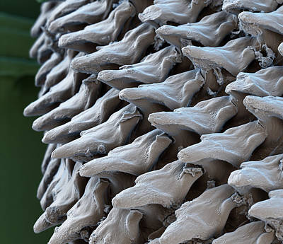 Radula Of A Slug, Sem Art Print by Eye of Science