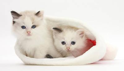 Ragdoll Kittens Photograph - Ragdoll-cross Kittens In Santa Hat by Mark Taylor