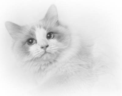 Photograph - Ragdoll In Black And White by David and Carol Kelly