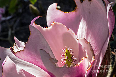 Photograph - Ragged Magnolia by Kate Brown