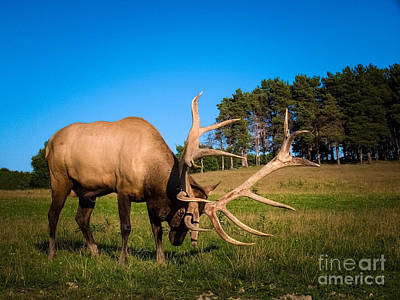 Trotting Elk Photograph - Raging Bull by Teresa A and Preston S Cole Photography
