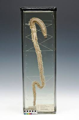 Aquatic Display Photograph - Ragworm Specimen by Ucl, Grant Museum Of Zoology