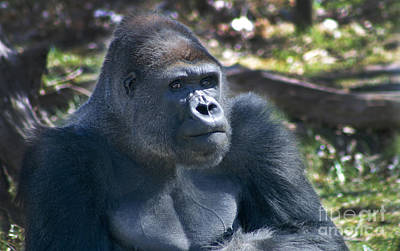 Photograph - Rah-dee In Kc - Gorilla 270b by Gary Gingrich Galleries