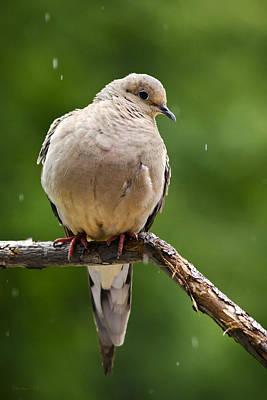 Photograph - Rain Dove by Christina Rollo