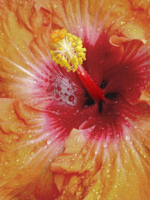 Photograph - Rain Drenched Hibiscus by David and Carol Kelly