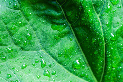 Photograph - Rain Drips On A Leaf by Charles Lupica