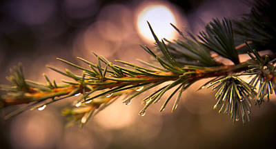 Rain Droplets On Pine Needles Art Print by Loriental Photography