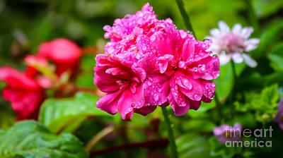 Photograph - Rain Drops On A Flower by David Warrington