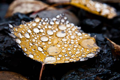 Photograph - Rain Drops On Autumn Birch Leaf by Brian Boudreau