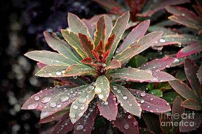 Photograph - Rain Drops Red Tip Flowers Art by Reid Callaway