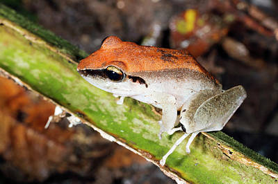 Amazon Rainforest Photograph - Rain Frog by Dr Morley Read