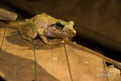 Eleutherodactylus Photograph - Rain Frog by William H. Mullins