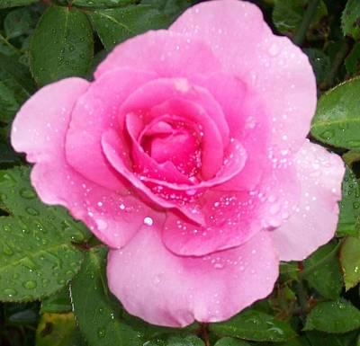 Rain Kissed Rose Art Print by Catherine Gagne