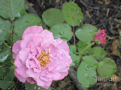 Photograph - Rain Kissed Rose by HEVi FineArt
