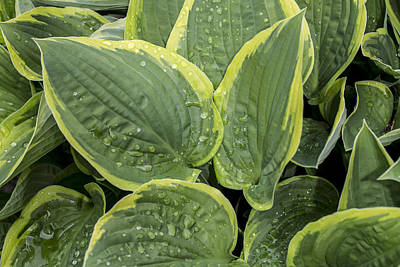 Photograph - Rain On The Hostas by Andrew Pacheco