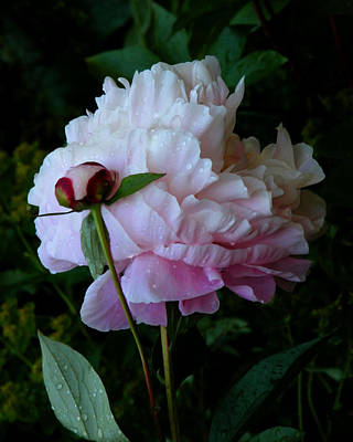Colour Image Photograph - Rain-soaked Peonies by Rona Black