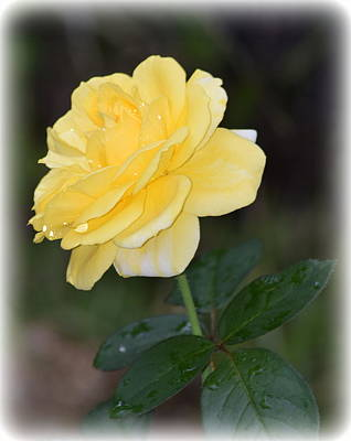 Photograph - Rain Soaked Yellow Rose 1 by Sheri McLeroy