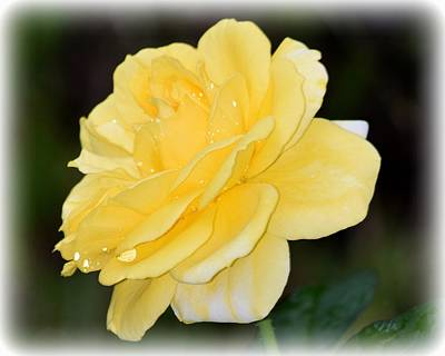 Photograph - Rain Soaked Yellow Rose 2 by Sheri McLeroy