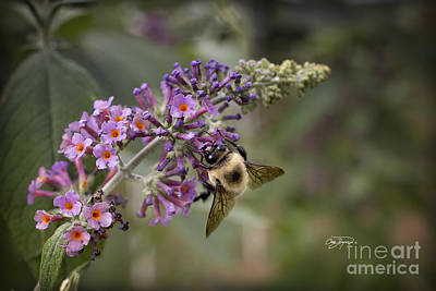 Photograph - Rainbow Butterfly Bush by Cris Hayes