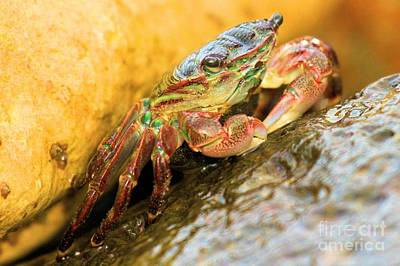 Photograph - Rainbow Crab Colors by Adam Jewell