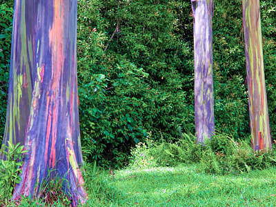 Photograph - Rainbow Eucalyptus 5 by Dawn Eshelman