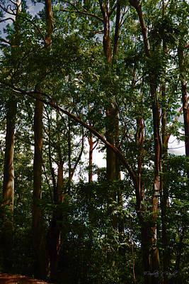 Photograph - Rainbow Eucalyptus - Hana Highway - Maui by Paulette B Wright