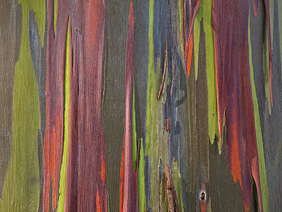 Photograph - Rainbow Eucalyptus Tree I by Doug Davidson