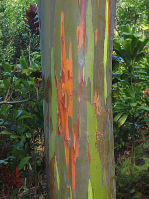 Photograph - Rainbow Eucalyptus Tree by Phil Stone