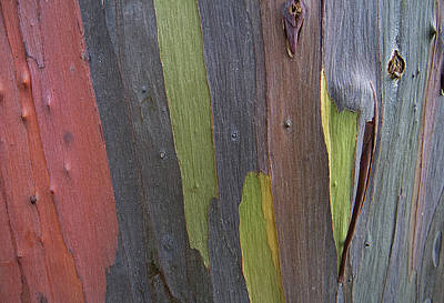 Photograph - Rainbow Eucalyptus Tree V by Doug Davidson