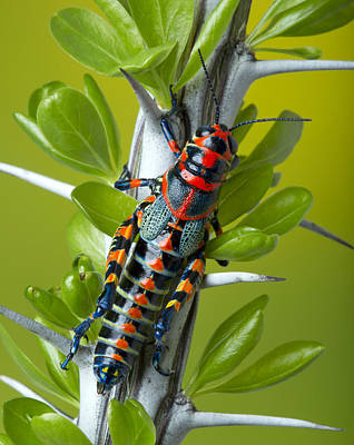 Robert Jensen Photograph - Rainbow Grasshopper On Ocotillo by Robert Jensen