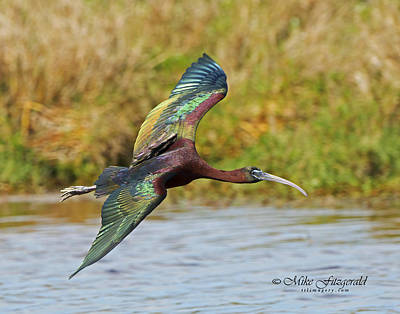 Photograph - Rainbow In Flight by Mike Fitzgerald