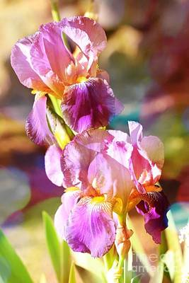 Iris Photograph - Rainbow Irises by Carol Groenen