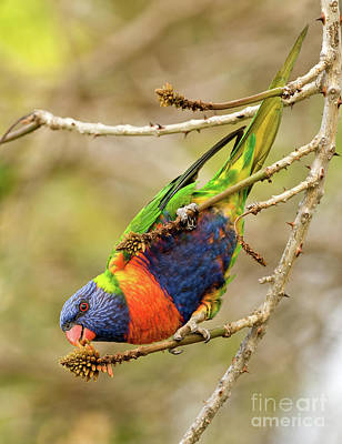 Photograph - Rainbow Lorikeet 02 by Rick Piper Photography