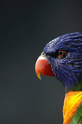Photograph - Rainbow Lorikeet 2 by Colleen Renshaw