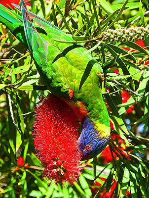 Photograph - Rainbow Lorikeet And Crimson Bottlebrush by Margaret Saheed