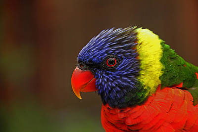 Art Print featuring the photograph Rainbow Lorikeet by Andy Lawless
