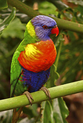 Photograph - Rainbow Lorikeet.  by Chris  Kusik
