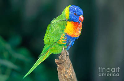 Photograph - Rainbow Lorikeet by Gregory G. Dimijian, M.D.