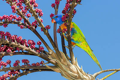 Rainbow Lorikeet In Queensland Umbrella Art Print