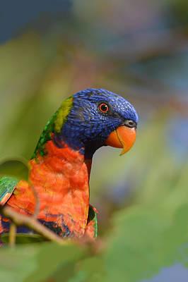 Rainbow Lorikeet Parrot  Art Print