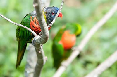 Photograph - Rainbow Lorikeet Parrot Trichoglossus Haematodus by Alex Grichenko