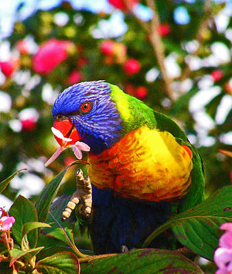 Photograph - Rainbow Lorikeet With Flower by Margaret Saheed