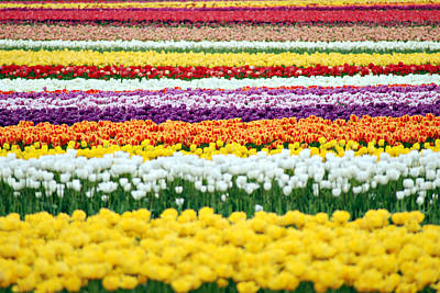 Photograph - Rainbow Of Tulips by Kjirsten Collier