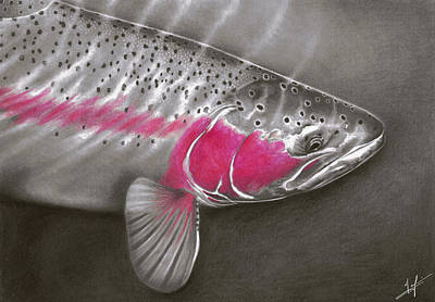 Fly Fishing Drawing - Rainbow Release by Nick Laferriere