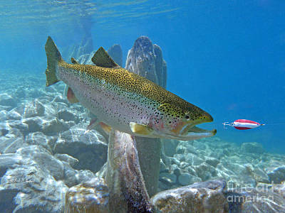 Steelhead Painting - Rainbow Trout And Dardevle Lure by Paul Buggia