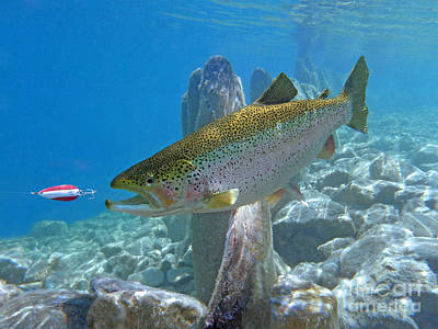 Rainbow Trout Pursuing Red And White Spoon Art Print