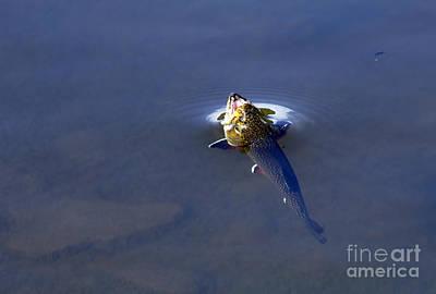 Photograph - Rainbow Trout by Steven Parker